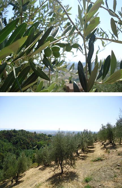 olive oliwki włochy con passione